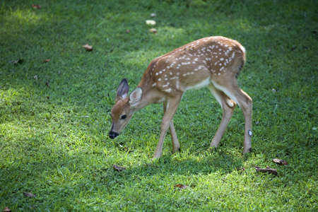 Whitetail deer fawn with its head down on a green lawn photo