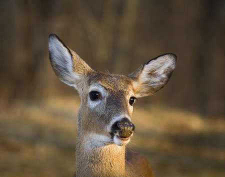 whitetail deer: Whitetail deer that is in front of a late winter forest