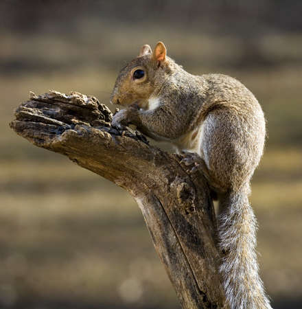 Tree squirrel with a long tail on top of a deadfall Stock Photo