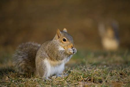 strobist: tree squirrel on the grass that looks like hes whispering something Stock Photo