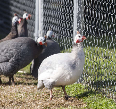 White guinea that is being ignored at the fence by black hens Stock Photo - 13297091