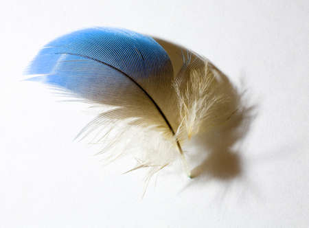 Feather from a blue and gold parrot that is on white