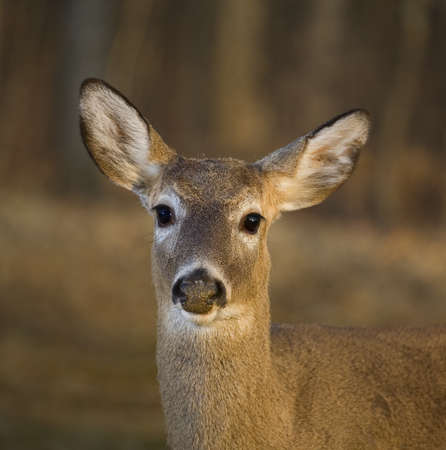 Whitetail deer looking straight into the camera in front of a winter forest photo