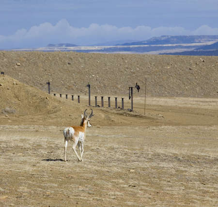 Male antelope that is wandering out into a shooting range