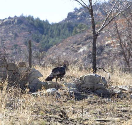 turkey hen: Pava corriendo sobre las ruinas de una ciudad fantasma en Nuevo M�xico