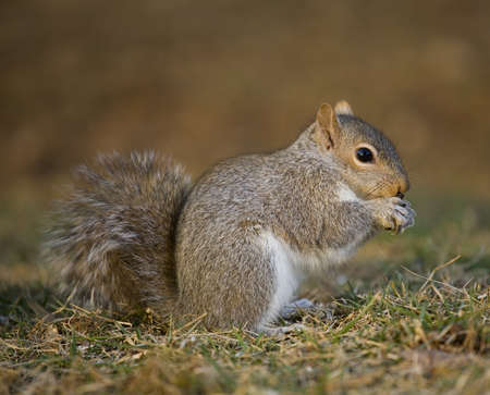 Tree squirrel that is on the grass eating something Stock Photo