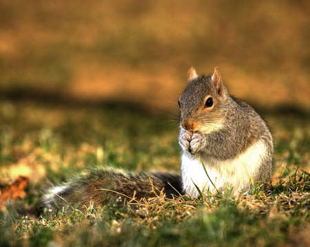 Tree squirrel eating seeds on the grass as the sun goes down