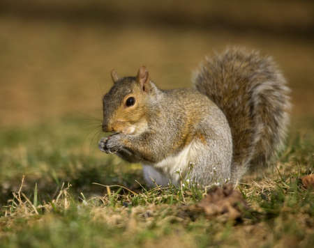 strobist: Tree squirrel on the grass that is eating something in its paws