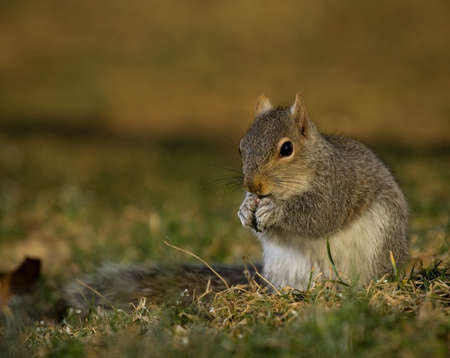 Tree squirrel that is eating on the ground as dusk approaches