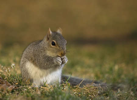 Tree squirrel on the grass stuffing itself before sunset Stock Photo