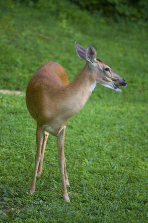 Whitetail 사슴 Doe 그것이 고함처럼 보이는 잔디에 스톡 콘텐츠