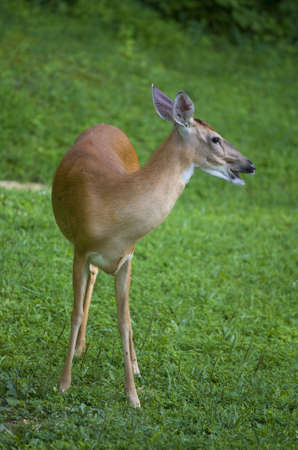 Whitetail deer doe on the grass that looks like it is yelling
