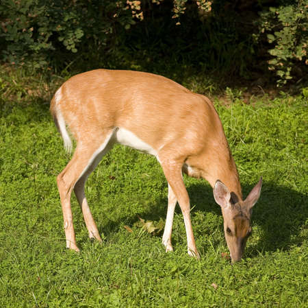 whitetail deer: Grassy field being grazed by a whitetail deer doe