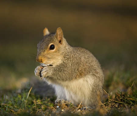 Tree squirrel on the ground eating sunflower seeds Stock Photo