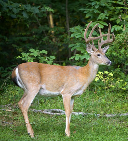 Big whitetail buck with its antlers still in velvet 版權商用圖片