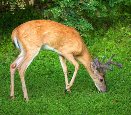 Eight point whitetail buck grazing with eight point antlers in velvet Reklamní fotografie