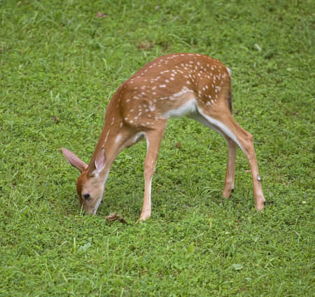 Whitetail deer fawn in spots that is eating some grass photo