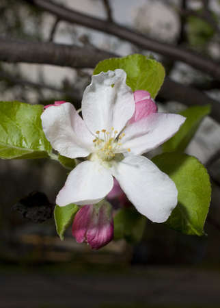 Flower that is on a winesap apple tree after sundown photo