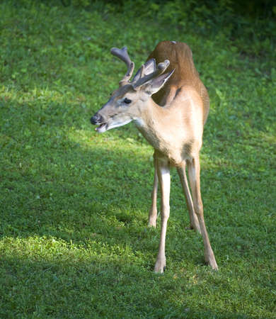 Whitetail deer that has small antlers that are in velvet Stock Photo - 16435024