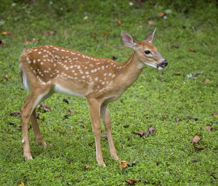 whitetail deer: Whitetail deer fawn that is standing on some grass Stock Photo