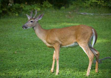 Young whitetail deer buck with velvet covering is four points Stock Photo - 17004708