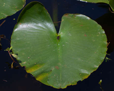 lily pad: Lily pad that is floating on calm water