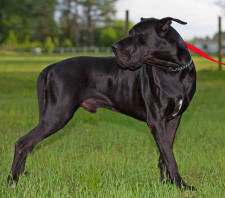Black great Dane dog standing on a green field Фото со стока