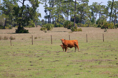 Cow and a calf next to a fence with a green field