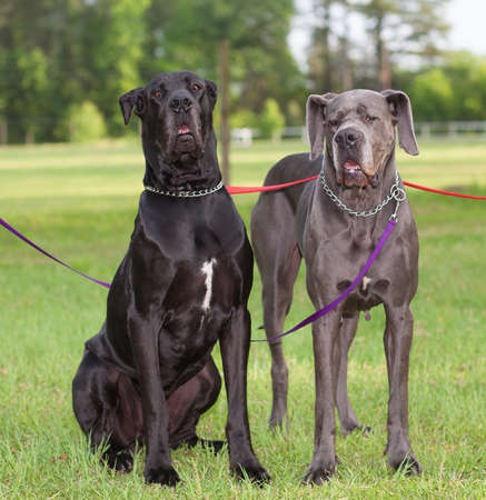 Pair of great Danes with the one on the left looking mean photo