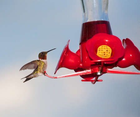 Red and green hummingbird looking at how much food is left