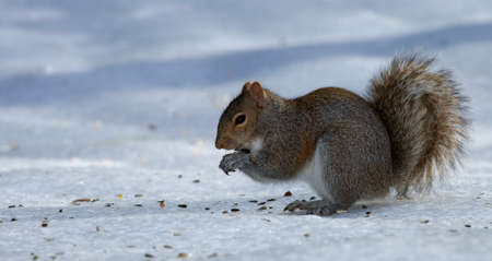 devouring: Tree squirrel on the ice devouring sunflower seeds Stock Photo