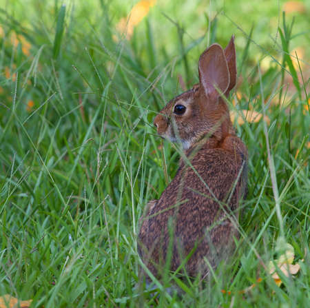 Cottontail rabbit out on the grass at sunset