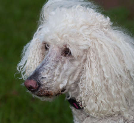 Standard white poodle that has spotted something photo