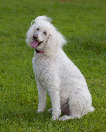 White standard poodle looking at the camera with love