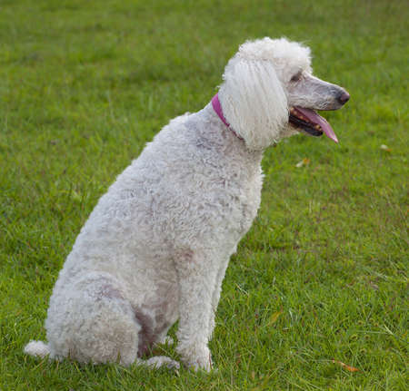 White standard size poodle on the lawn and panting