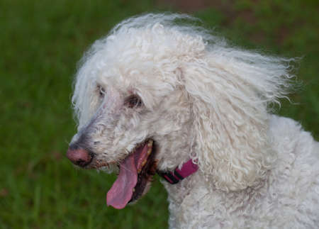 Standard sized white poodle that is on the grass panting Stok Fotoğraf