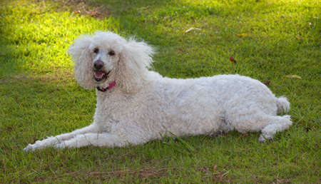 White French poodle that is laying on the grass photo