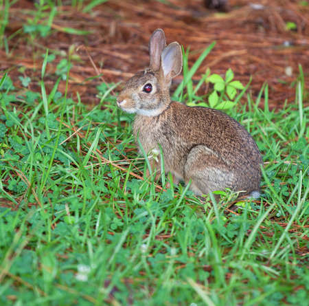 Cottontail rabbit on the edge of the grass and pine needles