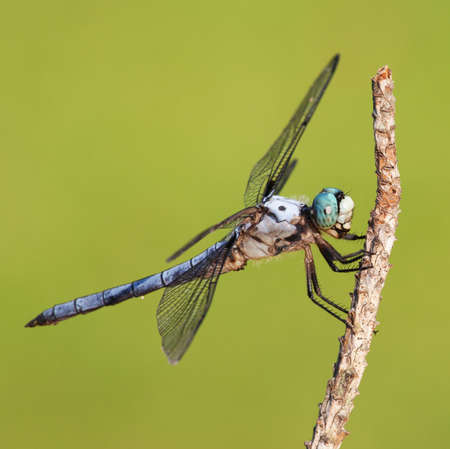 Blue eyed dragonfly that is covered with hair