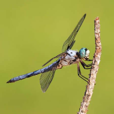 Blue eyed Libelle, die mit Haaren bedeckt ist Standard-Bild - 21453994