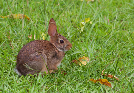 come in: Cottontail that has come in to feast on the grass