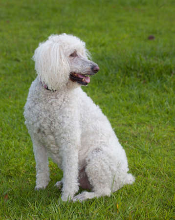 Full sized white poodle that is on a green lawn