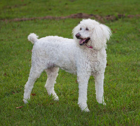 Standard sized white poodle standing on a green lawn photo