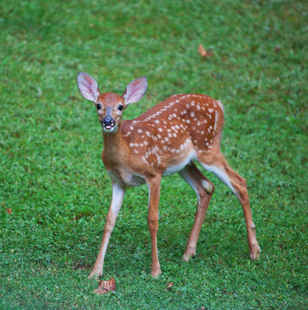 Whitetail deer fawn still in spots with its tongue out