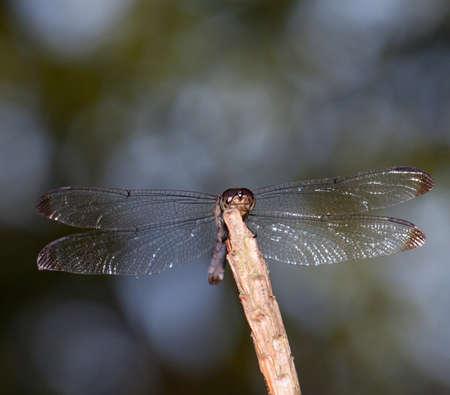 dragonfly wings: Colors of a forest behind show through dragonfly wings Stock Photo