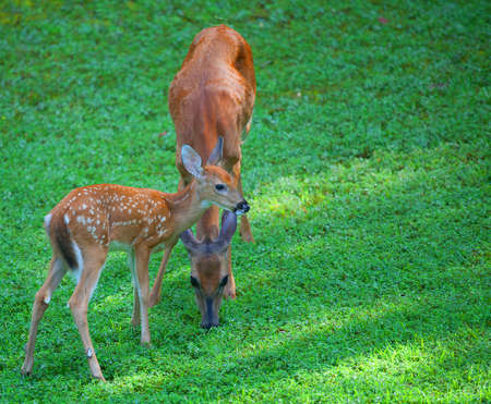 deer spot: Whitetail fawn and its doe that are eating some grass
