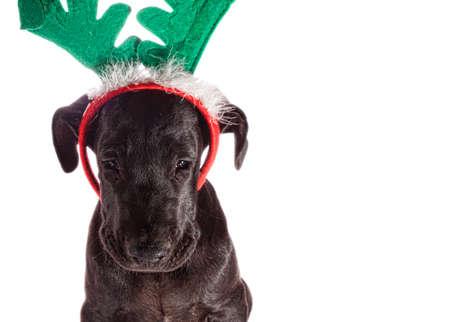 Black great Dane puppy with fake reindeer antlers that looks sad