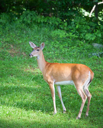 whitetail deer: Whitetail deer doe on the grass that has spotted something Stock Photo