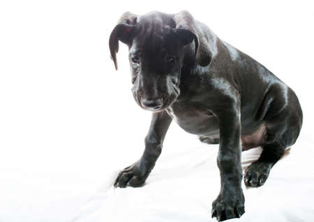 Well fed black great Dane puppy on a white background
