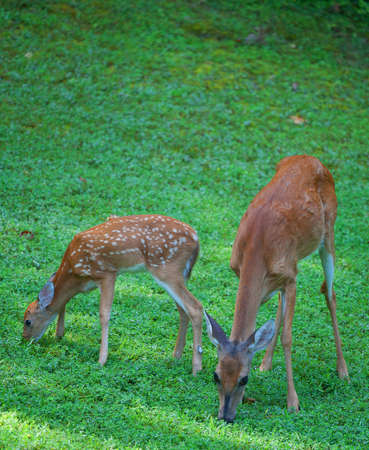 Whitetail doe and its fawn eating grass in the morning photo